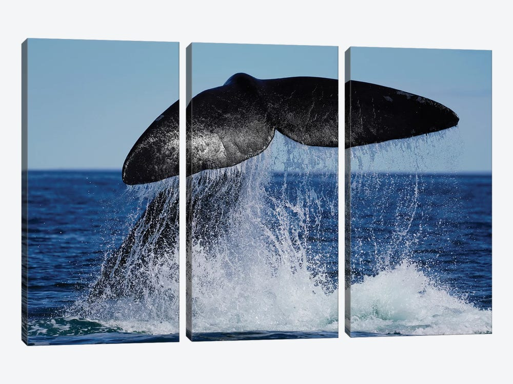 Southern Right Whale Tail Slapping, Peninsula Valdez, Argentina II by Hiroya Minakuchi 3-piece Canvas Print
