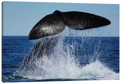 Southern Right Whale Tail Slapping, Peninsula Valdez, Argentina II Canvas Art Print