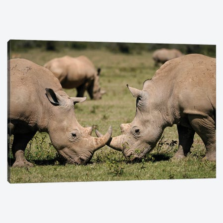 White Rhinos Grazing, Solio Game Reserve, Kenya Canvas Print #HIM46} by Hiroya Minakuchi Canvas Artwork