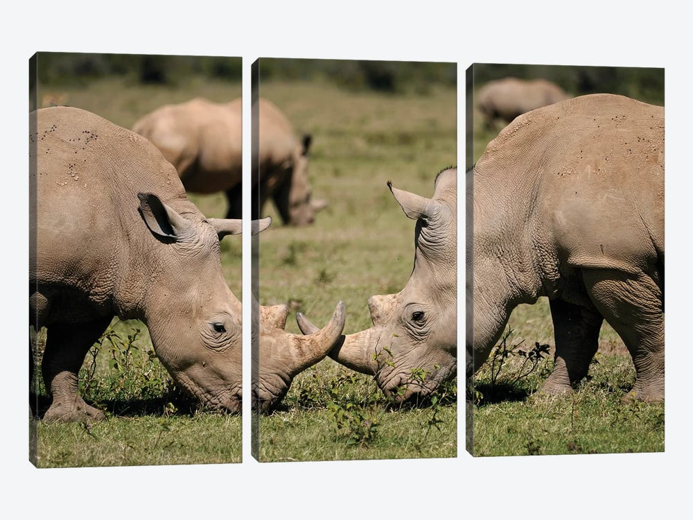White Rhinos Grazing, Solio Game Reserve, Kenya 3-piece Canvas Wall Art