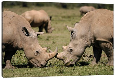 White Rhinos Grazing, Solio Game Reserve, Kenya Canvas Art Print