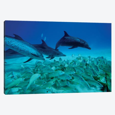 Atlantic Spotted Dolphin Trio Predating On School Of Snappers, Bahamas, Caribbean Canvas Print #HIM4} by Hiroya Minakuchi Canvas Print
