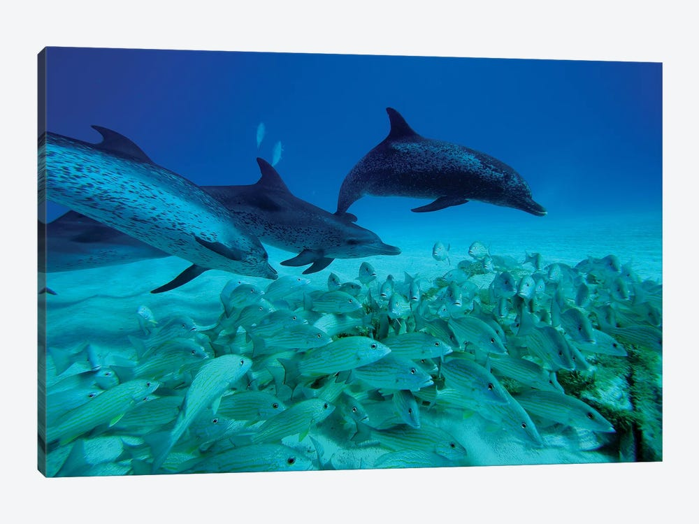 Atlantic Spotted Dolphin Trio Predating On School Of Snappers, Bahamas, Caribbean by Hiroya Minakuchi 1-piece Canvas Art Print