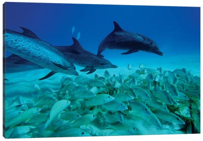 Atlantic Spotted Dolphin Trio Predating On School Of Snappers, Bahamas, Caribbean Canvas Art Print