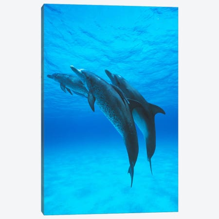 Atlantic Spotted Dolphin Trio With Remoras, Bahamas, Caribbean Canvas Print #HIM5} by Hiroya Minakuchi Canvas Art Print