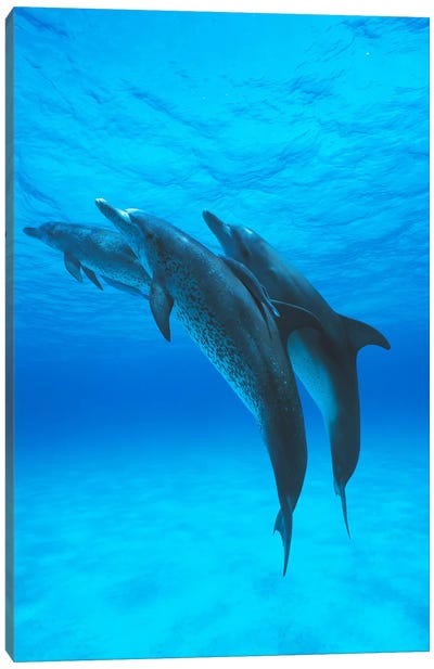 Atlantic Spotted Dolphin Trio With Remoras, Bahamas, Caribbean Canvas Art Print
