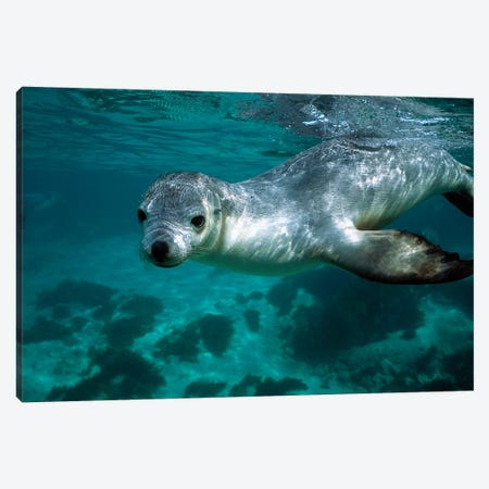 Australian Sea Lion Underwater Portrait, South Australia Canvas Print #HIM6} by Hiroya Minakuchi Art Print