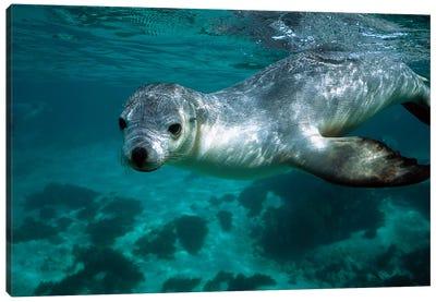 Australian Sea Lion Underwater Portrait, South Australia Canvas Art Print