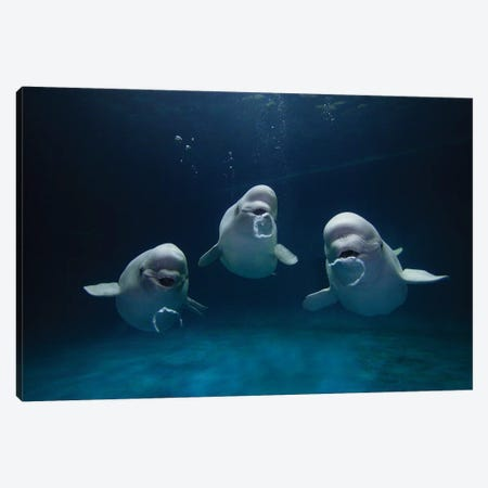 Beluga Whale Trio Blowing Toroidal Bubble Rings, Play Behavior, Vulnerable, Shimane Aquarium, Japan I Canvas Print #HIM8} by Hiroya Minakuchi Canvas Wall Art