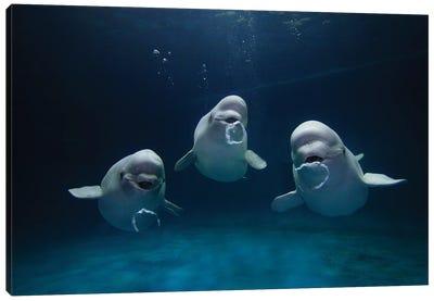 Beluga Whale Trio Blowing Toroidal Bubble Rings, Play Behavior, Vulnerable, Shimane Aquarium, Japan I Canvas Art Print