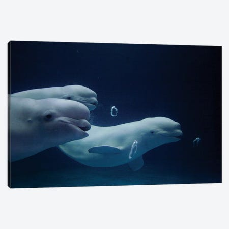 Beluga Whale Trio Blowing Toroidal Bubble Rings, Play Behavior, Vulnerable, Shimane Aquarium, Japan II Canvas Print #HIM9} by Hiroya Minakuchi Canvas Wall Art