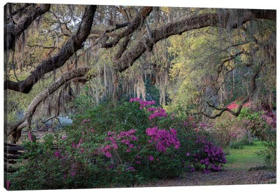 Oaks And Azaleas Canvas Art Print