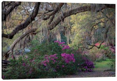 Oaks And Azaleas Canvas Art Print