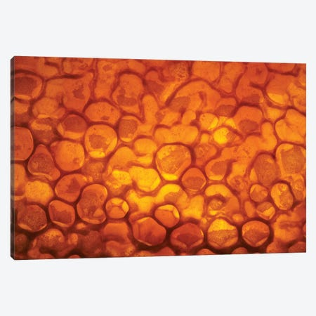 Honeycomb Cells Filled With Honey And Covered By Wax, Bee Station, Julius-Maximilians-University Of Wurzburg, Bavaria, Germany 3-Piece Canvas #HJK2} by Heidi & Hans-Juergen Koch Canvas Print