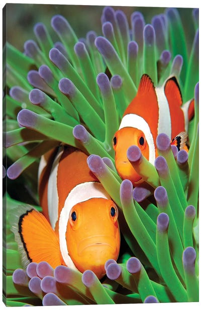 Clown Anemonefish In Sea Anemone Tentacles, Indonesia Canvas Art Print