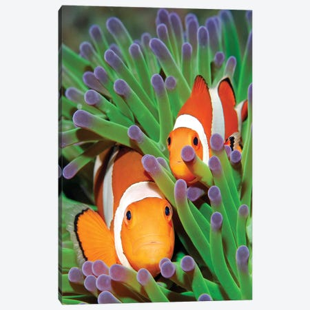 Clown Anemonefish In Sea Anemone Tentacles, Indonesia Canvas Print #HLE1} by Hans Leijnse Canvas Print