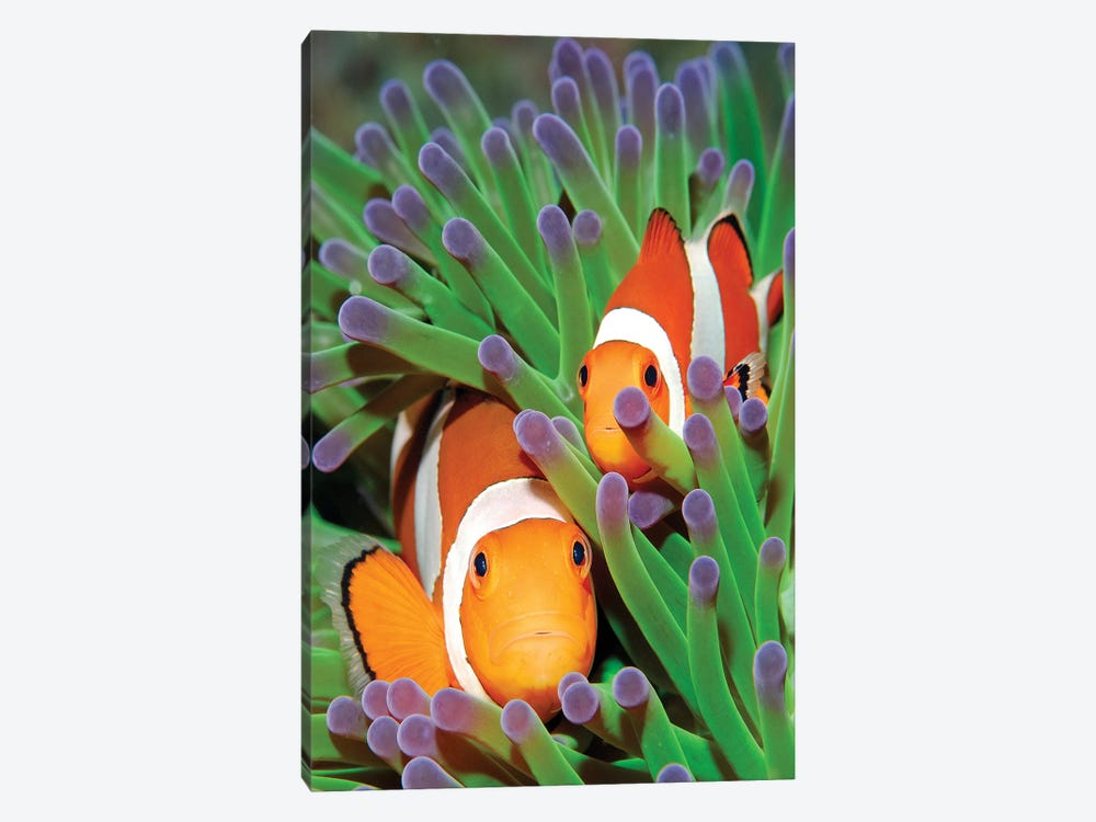 Clown Anemonefish In Sea Anemone Tentacles, Indonesia by Hans Leijnse 1-piece Canvas Artwork
