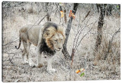 Lion Canvas Print #HLN3