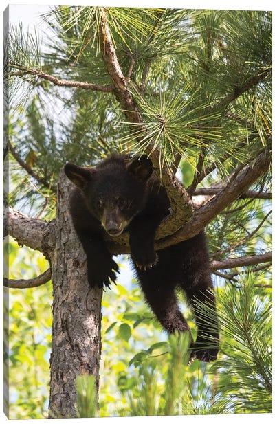 USA, Minnesota, Sandstone, Black Bear Cub Stuck in a Tree Canvas Art Print