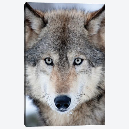 USA, Minnesota, Sandstone, Eyes of the Wolf Canvas Print #HLO23} by Hollice Looney Art Print