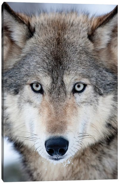 USA, Minnesota, Sandstone, Eyes of the Wolf Canvas Art Print