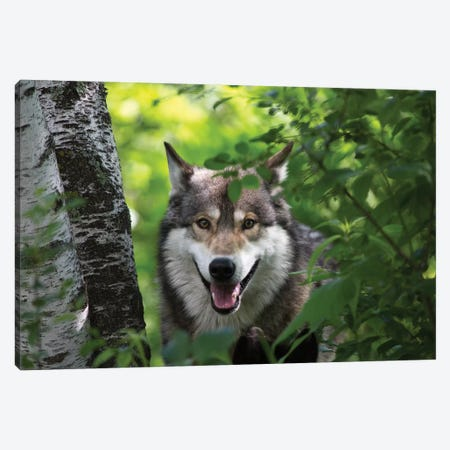 USA, Minnesota, Sandstone, Wolf Canvas Print #HLO24} by Hollice Looney Canvas Art