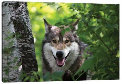 USA, Minnesota, Sandstone, Wolf Canvas Art Print