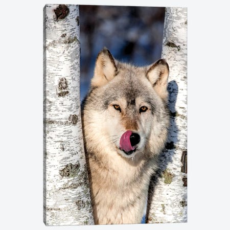 USA, Minnesota, Sandstone, Wolf in Birch Trees Canvas Print #HLO25} by Hollice Looney Canvas Wall Art