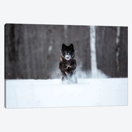 USA, Minnesota, Sandstone. Black wolf running through the snow Canvas Print #HLO26} by Hollice Looney Canvas Wall Art