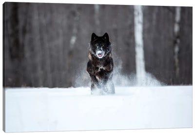 USA, Minnesota, Sandstone. Black wolf running through the snow Canvas Art Print
