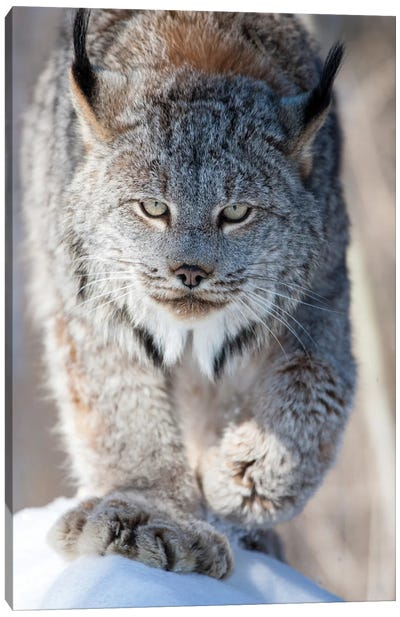 USA, Minnesota, Sandstone. Lynx walking Canvas Art Print