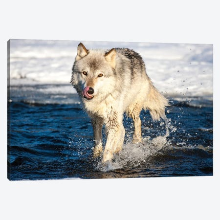 USA, Minnesota, Sandstone. Wolf Running in the water Canvas Print #HLO28} by Hollice Looney Canvas Print