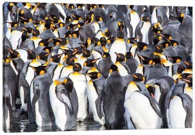 Antarctica, South Georgia Island, Salisbury Plain, King Penguins Canvas Art Print