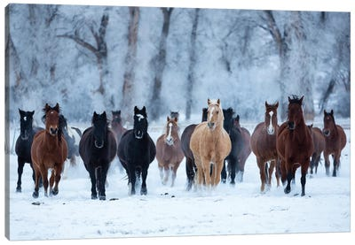 USA, Wyoming, Shell, Horses in the Cold  Canvas Art Print