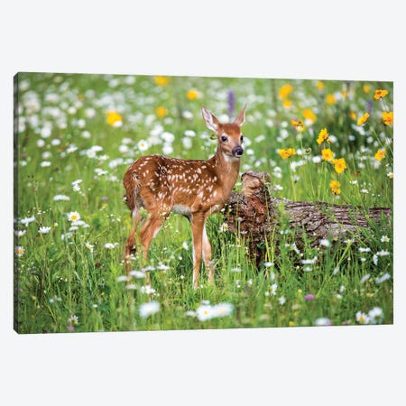 Fawn Amongst The Wildflowers, USA, Minnesota, Sandstone, Canvas Print #HLO46} by Hollice Looney Canvas Wall Art