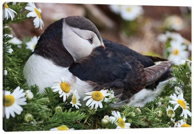 Iceland, Breidavik, Puffin Nesting Among the Daisies Canvas Art Print