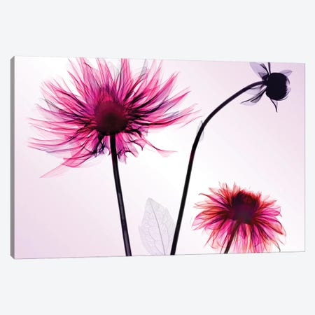 Three Dahlias Canvas Print #HPH16} by Hong Pham Canvas Print