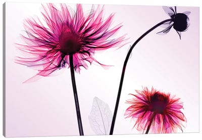 Three Dahlias Canvas Print #HPH16