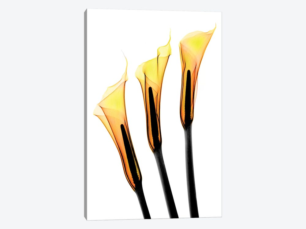 Callas II by Hong Pham 1-piece Art Print