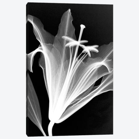 Lily Canvas Print #HPH5} by Hong Pham Canvas Print