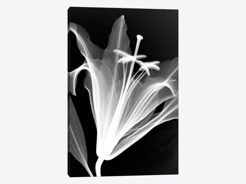Lily by Hong Pham 1-piece Canvas Artwork