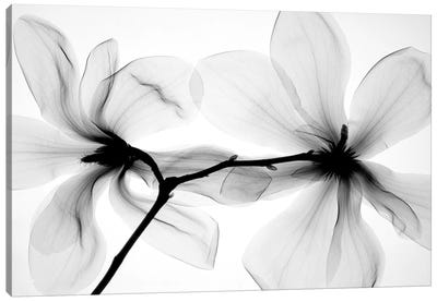 Magnolias I Canvas Art Print