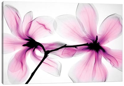 Magnolias II Canvas Art Print