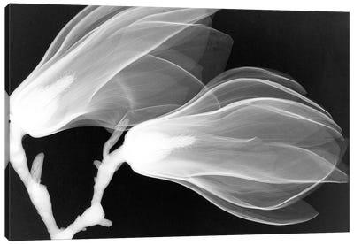Magnolias III Canvas Print #HPH8