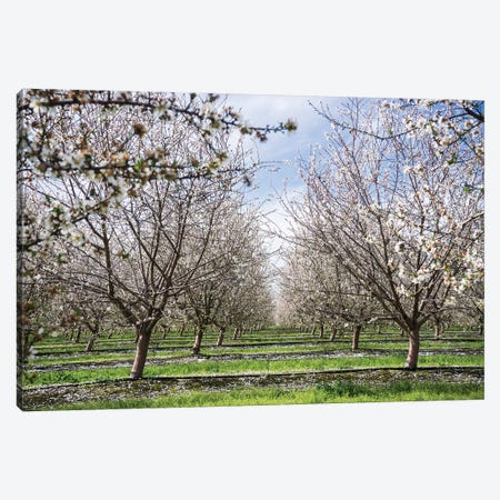 Almond Orchard Canvas Print #HRB15} by Heather Roberson Canvas Artwork