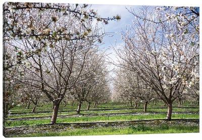 Almond Orchard Canvas Art Print
