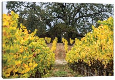 Autumn Vineyard Canvas Art Print