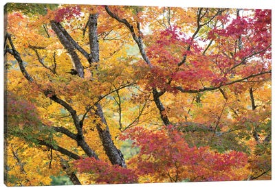 Maple Trees In Late Fall Color Canvas Art Print