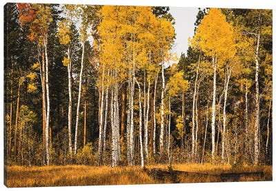 Aspen Glow Canvas Art Print