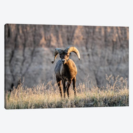 Big Horn Sheep Canvas Print #HRB79} by Heather Roberson Canvas Art Print